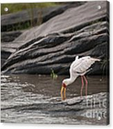 Yellow-billed Stork Fishing In River Acrylic Print