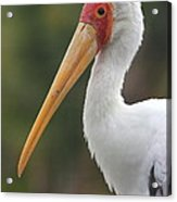 Yellow-billed Stork Acrylic Print