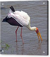 Yellow Billed Stork Acrylic Print