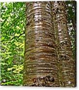 Yellow Birch Near La Chute In Forillon Np-qc Acrylic Print