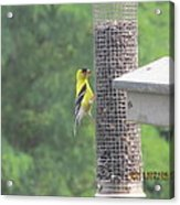 Yellow Bird Feeding Acrylic Print