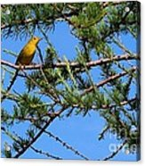 Yellow Bird In A Juniper Tree Acrylic Print