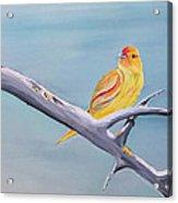 Pajarito Amarillo Acrylic Print
