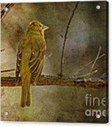 Yellow Bird Resting Acrylic Print by Pam Vick