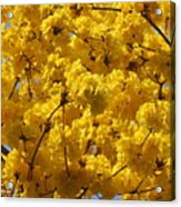 Yellow Blossoms Of A Tabebuia Tree Acrylic Print