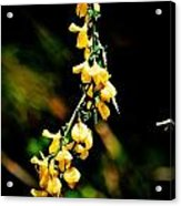 Yellow Blossoms Acrylic Print