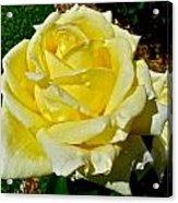 Yellow Bob Berry Rose Acrylic Print