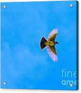 Yellow Breasted Blue Sky Acrylic Print