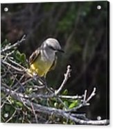 Yellow Breasted Kingbird Acrylic Print