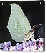 Yellow Brimstone Acrylic Print