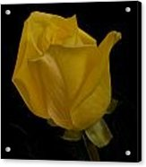 Yellow Bud Acrylic Print by Nancy Edwards