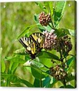 Yellow Butterflies Acrylic Print
