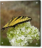 Yellow Butterfly 2 Acrylic Print
