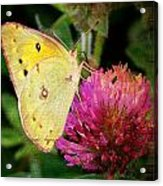 Yellow Butterfly On Pink Clover Acrylic Print