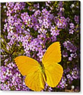 Yellow Butterfly On Pink Flowers Acrylic Print