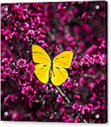 Yellow Butterfly On Red Flowering Bush Acrylic Print