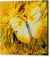 Yellow Butterfly On Yellow Mums Acrylic Print