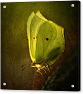 Yellow Butterfly Sitting On The Moss  Acrylic Print