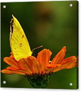 Yellow Cabbage Moth Acrylic Print