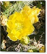 Yellow Cactus Blooms And Buds Acrylic Print