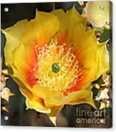 Yellow Cactus Flower Square Acrylic Print