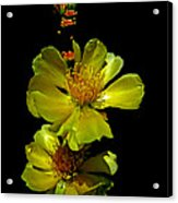 Yellow Cactus Flowers And Buds Acrylic Print