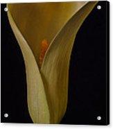 Yellow Calla Lily Acrylic Print