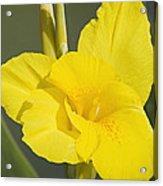 Yellow Canna 2 Acrylic Print