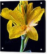 Yellow Canna Flower Acrylic Print