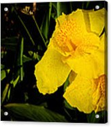 Yellow Canna Singapore Flower Acrylic Print