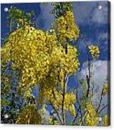 Yellow Cassia Acrylic Print by Gordon  Grimwade