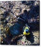 Yellow Chested Birdy Acrylic Print