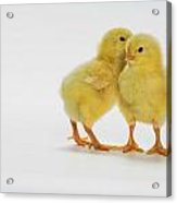 Yellow Chicks. Baby Chickens Acrylic Print by Thomas Kitchin & Victoria Hurst
