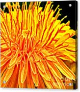 Yellow Chrysanthemum Painting Acrylic Print