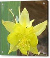 Yellow Colubine Acrylic Print