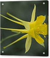Yellow Columbine Acrylic Print