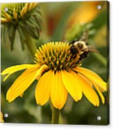 Yellow Coneflower And Bee Acrylic Print