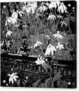 Yellow Coneflowers Echinacea Wrought Iron Gate Bw Acrylic Print