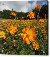 Yellow Cosmos Field In Flower Japan Acrylic Print