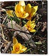 Yellow Crocuses Acrylic Print