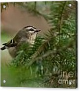 Yellow-crowned Kinglet Acrylic Print