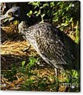 Yellow-crowned Night Heron Eating A Fiddler Crab Dinner Acrylic Print