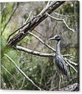 Yellow Crowned Night Heron Acrylic Print by Frank Feliciano