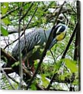 Yellow Crowned Night Heron In Display Acrylic Print