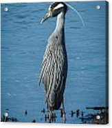 Yellow-crowned Night-heron Acrylic Print