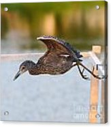 Yellow-crowned Night-heron Portrait Series 7 Acrylic Print