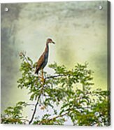 Yellow-crowned Night Heron Swaying In The Wind Acrylic Print