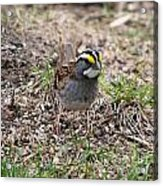 Yellow Crowned Sparrow Acrylic Print