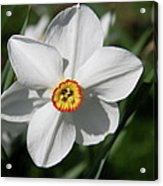 Yellow Daffodil Heart Acrylic Print