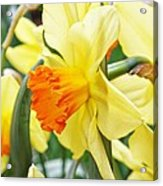 Yellow Daffodils  Acrylic Print by Cathie Tyler